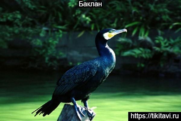 Баклан Азбука птиц от А до Я с картинками