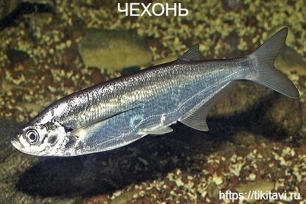 Чехонь алфавит рыбы от а до я с картинками