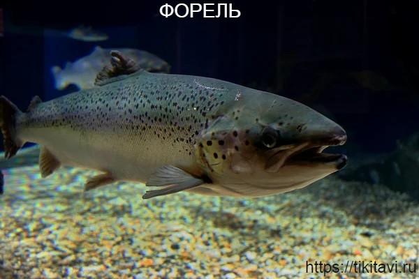 Форель алфавит рыбы от а до я с картинками