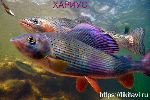 Хариус алфавит рыбы от а до я с картинками