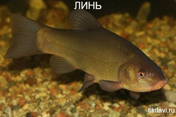 Линь алфавит рыбы от а до я с картинками