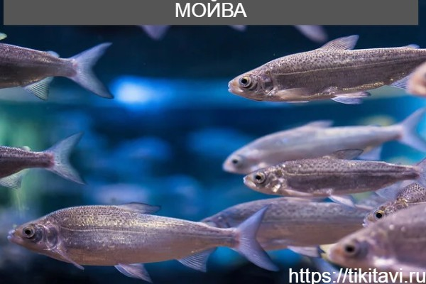 Мойва алфавит рыбы от а до я с картинками