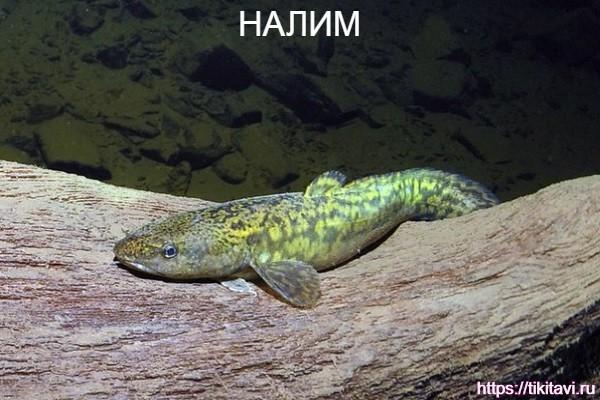 Налим алфавит рыбы от а до я с картинками