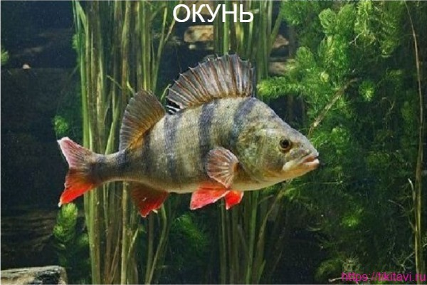 Окунь алфавит рыбы от а до я с картинками
