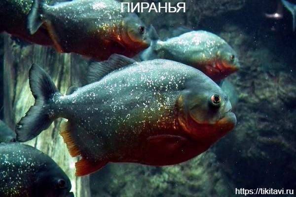 Пиранья алфавит рыбы от а до я с картинками