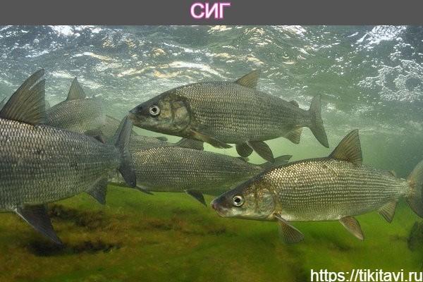 Сиг алфавит рыбы от а до я с картинками