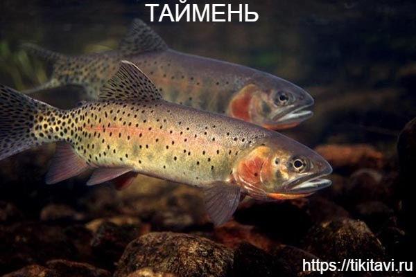 Таймень алфавит рыбы от а до я с картинками