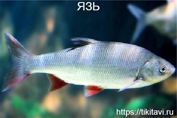 Язь алфавит рыбы от а до я с картинками
