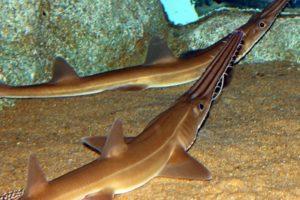 Акула пилонос