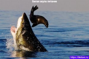 Белая акула питается морским слоном