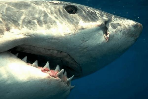 ЗУБЫ СТРАШНЫЕ Акулы ТРЕУГОЛЬНИКИ
