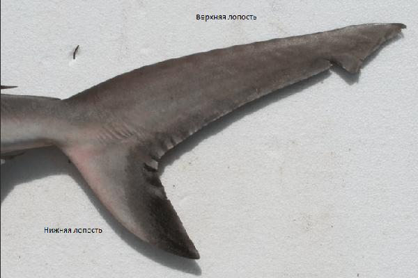 Хвост акулы из чего состоит