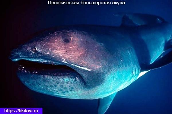Челюсти большеротой акулы ярко светится в темноте.