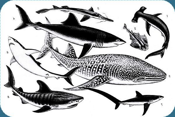Разные формы тела акулы