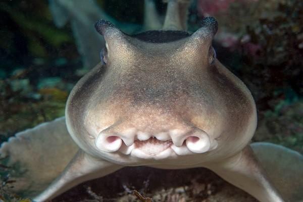 Рогатая акула зубы
