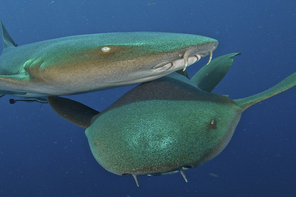 Ржавая акула нянька
