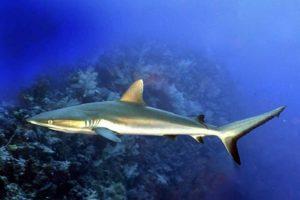 Темноперые серые акулы