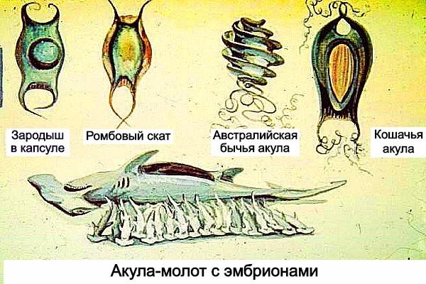 Яйца акулы фото