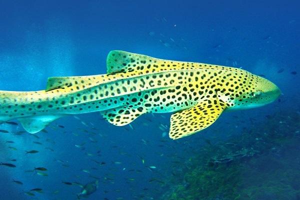 Пятнистая акула фото