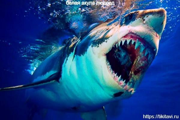 Белая акула людоед