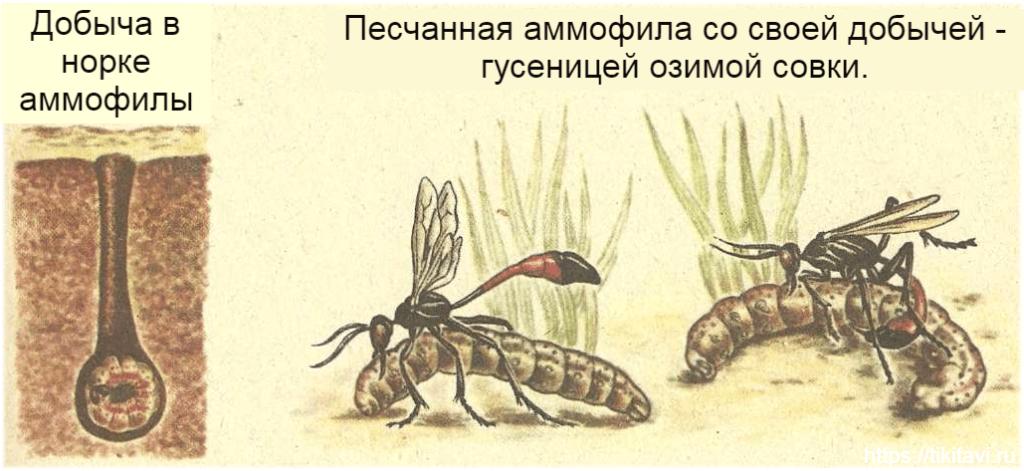 Peschannaya ammofila