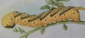 Гусеница бражника