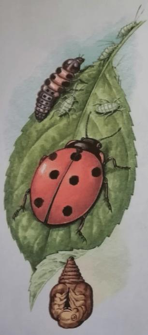 На рисунке слева: божья коровка её личинка и тли. Под листом внизу куколка божьей коровки.