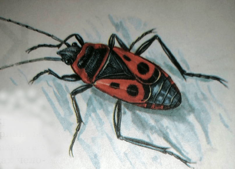 Клоп насекомое
